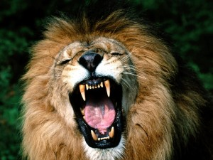 Mad-Lion-Growling-Showing-Teeth-Picture-HD-Wallpaper